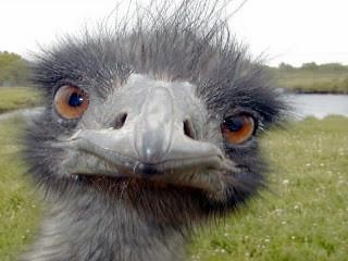 emu-1